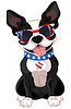 4th of July Boston Terrier
