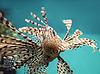 악의에 찬 산호초 물고기 lionfish 빨간색 (Pterois | Stock Foto