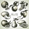 Skizze Fruchtansatz. Eco Lebensmittel
