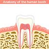 Векторный клипарт: Анатомия человеческой зуба