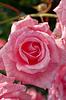 Knospe der Rose | Stock Foto