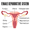 Female reproductive system | Stock Vector Graphics