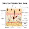 Векторный клипарт: Поперечное сечение человеческой кожи
