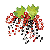 berries black red currant