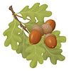 Векторный клипарт: желуди зеленые